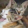 写真: 欠伸する子猫