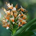 写真: 生姜の花