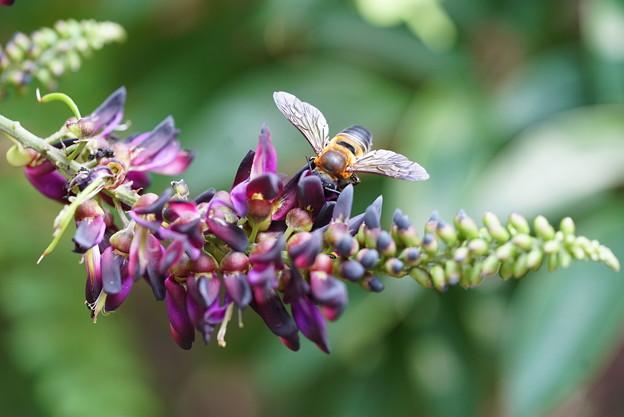 蜂とムラサキナツフジ