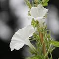 Photos: 白い朝顔