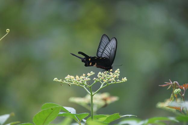 ヤブガラシと蝶