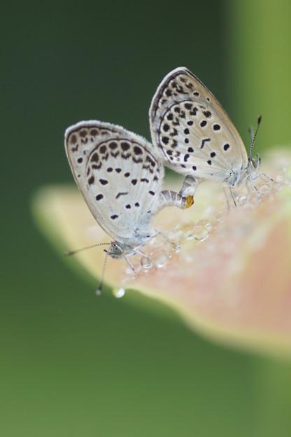 交尾中の蝶