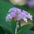 写真: 玉紫陽花