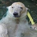 Photos: 白熊