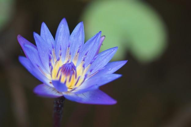 写真: 青い睡蓮