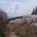 写真: 川沿いの桜1