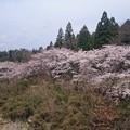 写真: 川沿いの桜3