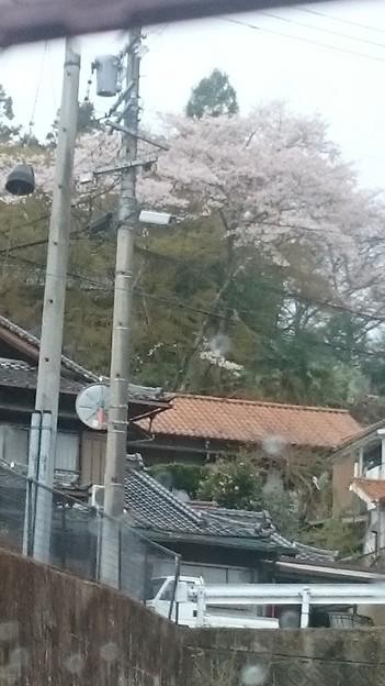 桃山公園駐車場から桜