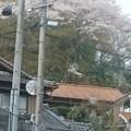 写真: 桃山公園駐車場から桜