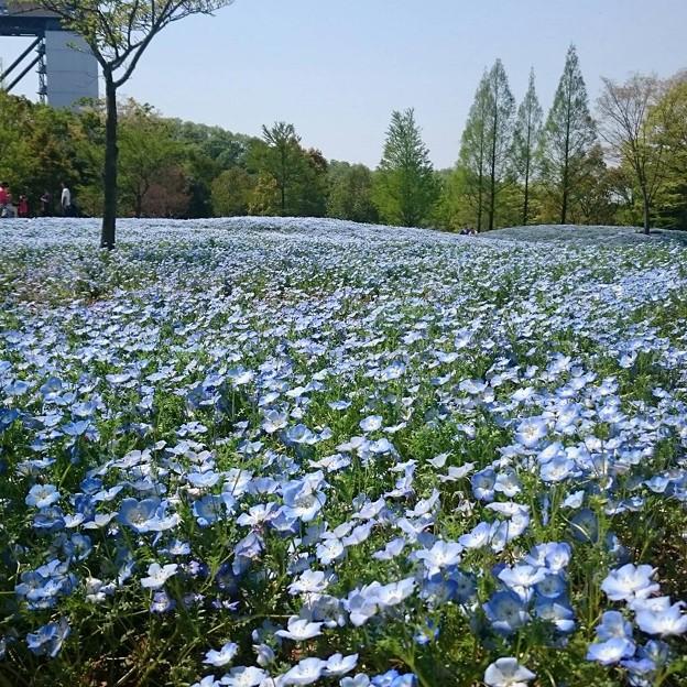 可児市花フェスタ記念公園の青いお花畑