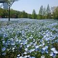 写真: 可児市花フェスタ記念公園の青いお花畑