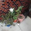 カサブランカ咲きました