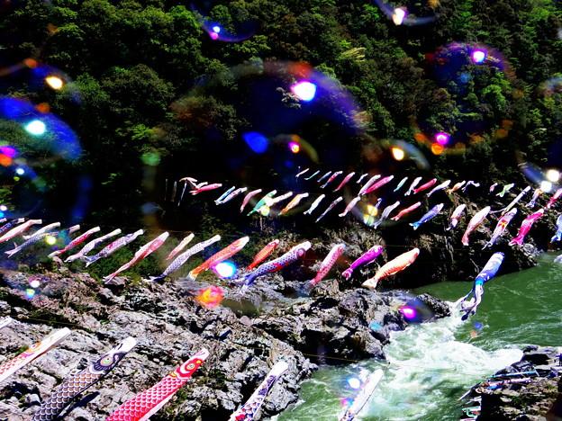 激流の鯉のぼり