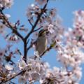 桜ニュウナイズズメ1
