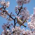 桜ニュウナイズズメ2