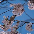 桜ニュウナイズズメ3