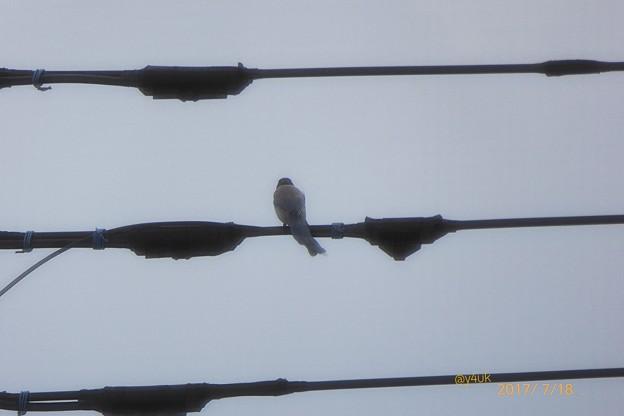 電線に鳥さん ~哀愁の背中~あの桜の時のイケメンですか?お名前だけでも~