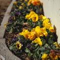 写真: Flower of Valentine's Day~げんきいろ~OM-D E-M10markII 25mm F1.8