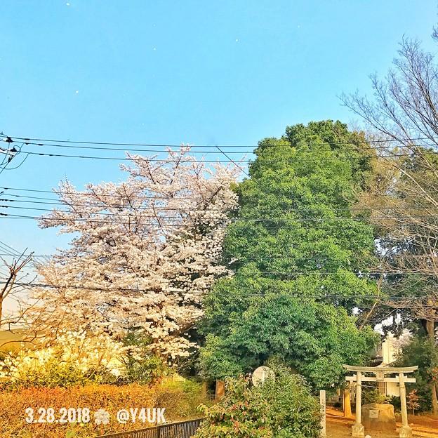 Photos: colorful spring 仲良し( ´ ▽ ` )青空、舞う花びら、桜、新緑、鳥居、温かい光の中で