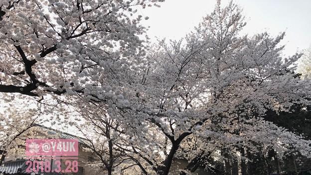 写真: 逆光の桜モリモリ美味しい満開♪under the cherry blossom