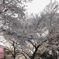 Photos: 逆光の桜モリモリ美味しい満開♪under the cherry blossom