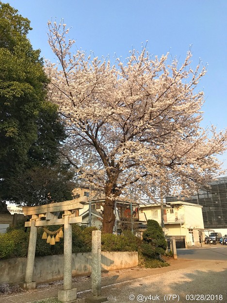 夕陽に照らされる桜満開・新緑・鳥居~sunset cherryblossom on smile people ;)
