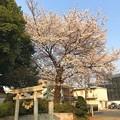 写真: 夕陽に照らされる桜満開・新緑・鳥居~sunset cherryblossom on smile people ;)