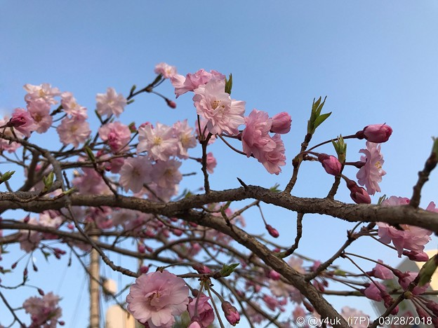 写真: 青空+なんていう桜?(・ω・)cherryblossom & blue sky on sunset