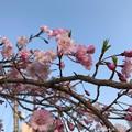 写真: 青空+なんていう桜?(・ω・)cherryblossom & blue sky on sunset