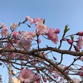 Photos: 青空+なんていう桜?(・ω・)cherryblossom & blue sky on sunset