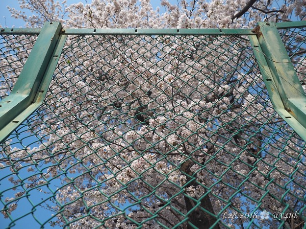 フェンスの向こう、きみに会いたい桜満開 ~Over the Symmetry fence cherryblossom [OM-D E-M10MarkII, 12-40mmF2.8PRO]