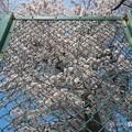 フェンスの向こう、きみに会いたい桜満開 ~Over the Symmetry fence cherryblossom [OM-D E-M10MarkII, 12-40mmF2.8PRO]