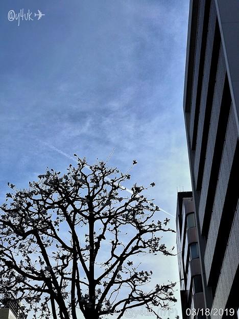 18旅先その4.ビルの谷間を無機質を歩く、都会でも花は咲く街路樹、その向こうに飛行機雲、都会の空は小さく狭い~#Walkman street tree,fly sky airplane smoking