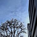 Photos: 18旅先その4.ビルの谷間を無機質を歩く、都会でも花は咲く街路樹、その向こうに飛行機雲、都会の空は小さく狭い~#Walkman street tree,fly sky airplane smoking