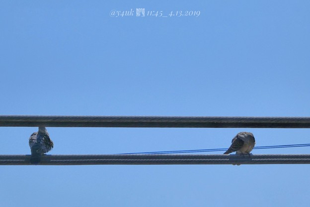 11:45_4.13カップル鳩その1.午前中からイチャついてた電線で。左:山ちゃん、右:蒼井優。会見と深夜ラジオ山ちゃん号泣に、笑顔希望勇気支え思いやり愛「指輪より思い出」素晴らしい2人だった♪青い空