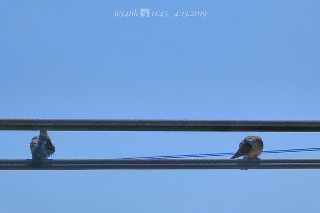 Photos: 11:45_4.13カップル鳩その1.午前中からイチャついてた電線で。左:山ちゃん、右:蒼井優。会見と深夜ラジオ山ちゃん号泣に、笑顔希望勇気支え思いやり愛「指輪より思い出」素晴らしい2人だった♪青い空