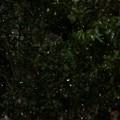 11:07_1.18 1st 1℃old Snow Angels今冬初雪・明午前・天使・コンデジ(マニュアルフォーカスMF,シャッター優先1/2000,zoom750mm,ISO800:TZ85)本気