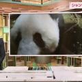 "Photos: 6.12シャンシャン3歳お誕生日おめでとー!ネコ共々永遠の癒しNHK首都圏ネットワーク""元気です""もうすぐ3歳上野動物園が動画公開☆Ueno-Panda.jp3歳記念企画を実施HP(ツイッター)で配信"