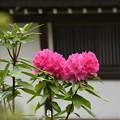 写真: 岡寺シャクナゲ2