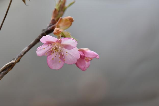 写真: 咲き始めの河津桜