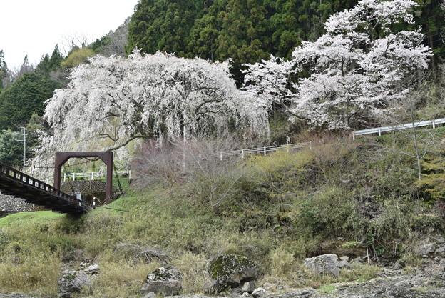 写真: 魚ヶ渕つり橋とさくら