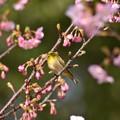 Photos: 河津桜とメジロ
