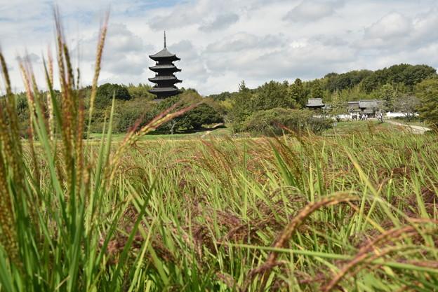 赤米と国分寺五重塔