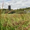 Photos: 赤米と国分寺五重塔