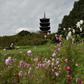 秋桜と五重塔