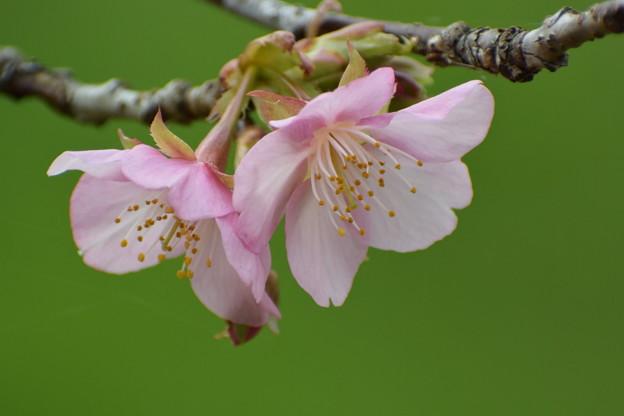 河津桜が咲きだしました。