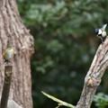 Photos: シジュウカラに餌を捕られたルリ君