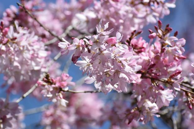 しだれ桜咲きました