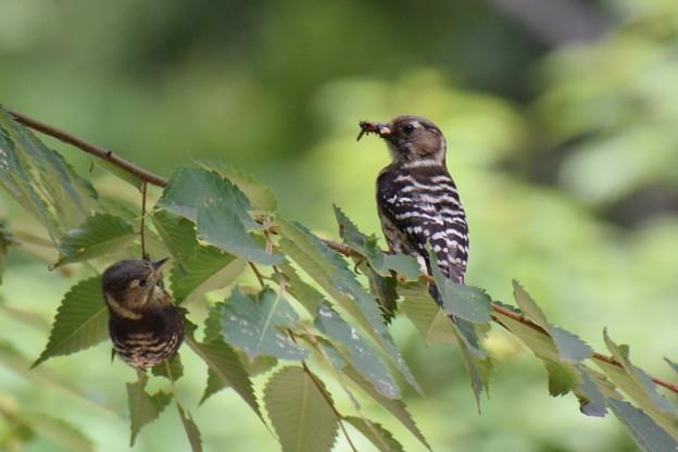 コゲラの赤ちゃん今日巣から飛び出しました