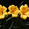カンゾウの花?